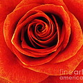 Orange Apricot Rose Macro With Oil Painting Effect by Rose Santuci-Sofranko