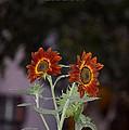 Orange Asters by Sonali Gangane