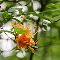 Orange Azalea Delight by Rachel Cohen