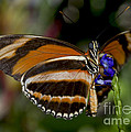Orange Banded Butterfly by Heather Applegate