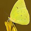Orange Barred Sulfur Butterfly by Millard H Sharp