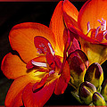Orange Beauty by Phyllis Denton