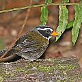 Orange-billed Sparrow by Mike Dickie