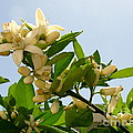 Orange Blossom Special by Marilyn Smith
