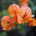 Orange Bougainvillea by Rona Black