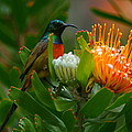 Orange-breasted Sunbird II by Bruce J Robinson