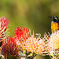 Orange-breasted Sunbird by Jean-Luc Baron