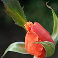 Orange Bud by Anna Burdette