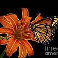 Orange Butterfly by Ben Yassa