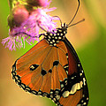 Orange Butterfly by Jeremy Hayden