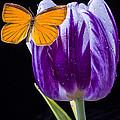 Orange Butterfly On Purple Tulip by Garry Gay