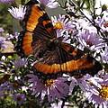 Orange Butterfly/purple Flowers by Cheryl King