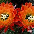 Orange Cactus Flowers by Nancy Mueller