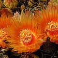 Orange Cactus by Heather Coen