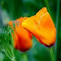 Orange California Poppies by Cynthia Guinn