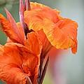 Orange Cana by Maria Urso