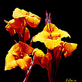 Orange Cannas by Gary  Hernandez