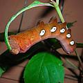 Orange Caterpillar by Tanya Hamell
