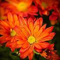 Orange Chrysanthemum by Mark Llewellyn