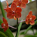 Orange Colored Orchid by Christiane Schulze Art And Photography