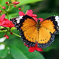 Orange Common Lacewing Butterfly by Amy McDaniel