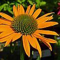 Orange Cone Flower by Tikvah's Hope