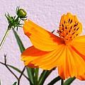 Neon Bright Orange Cosmos by Belinda Lee
