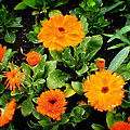Orange Country Flowers - Series I by Doc Braham