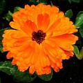 Orange Flowers by Doc Braham