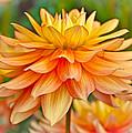 Orange Cream Dahlia by Athena Mckinzie
