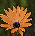 Orange Cream by Marjorie Tietjen