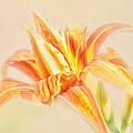 Orange Cream by Susan Capuano