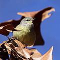 Orange-crowned Warbler - Feather Lite by Travis Truelove
