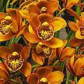 Orange Cymbidium by Jess Kraft