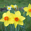 Orange Daffodils Flowers Spring Garden by Baslee Troutman