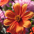 Orange Dahlia by Alfred Ng
