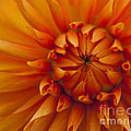 Orange Dahlia Close Up by Michael Waller