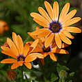 Orange Daisy by Aimee L Maher ALM GALLERY