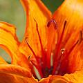 Orange Daylily Closeup by Ferenc Kosa