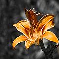 Orange Daylily Flower On Gray 3 by Alexander Senin