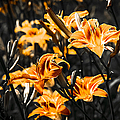 Orange Daylily Flowers On Gray 5 by Alexander Senin