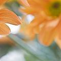 Orange Design. Paintrly Chrysanthemum  by Jenny Rainbow