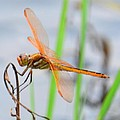 Orange Dragonfly On The Water's Edge by Maria Urso
