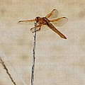 Orange Dragonfly by Tom Janca