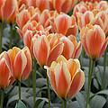 Orange Dutch Tulips by Juli Scalzi