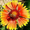 Orange Fiery Gaillardia Flower And Bee Macro by Amy McDaniel