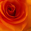Orange Flame Fatale Garden Rose