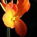 Orange Flower Canna by Eric  Schiabor