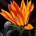 Orange Flower by Shishir Bansal