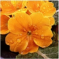 Orange Flower With Water Drops by Matthias Hauser